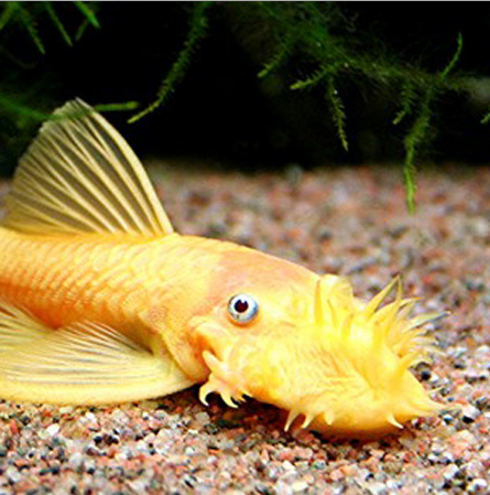 Algae Eating Fish For Aquariums Ponds For Sale At Azgardens Com Aquarium Fish Pleco Fish Tropical Fish Store