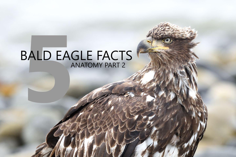 5 BALD EAGLE FACTS: ANATOMY PART 2 - By AJ Harrison | Bald Eagle ...
