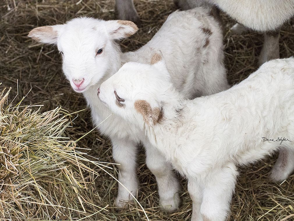 These baby farm animals are guaranteed to make you smile. #Cute #Baby #Farm #Animal #Adorable #Aww #Lamb