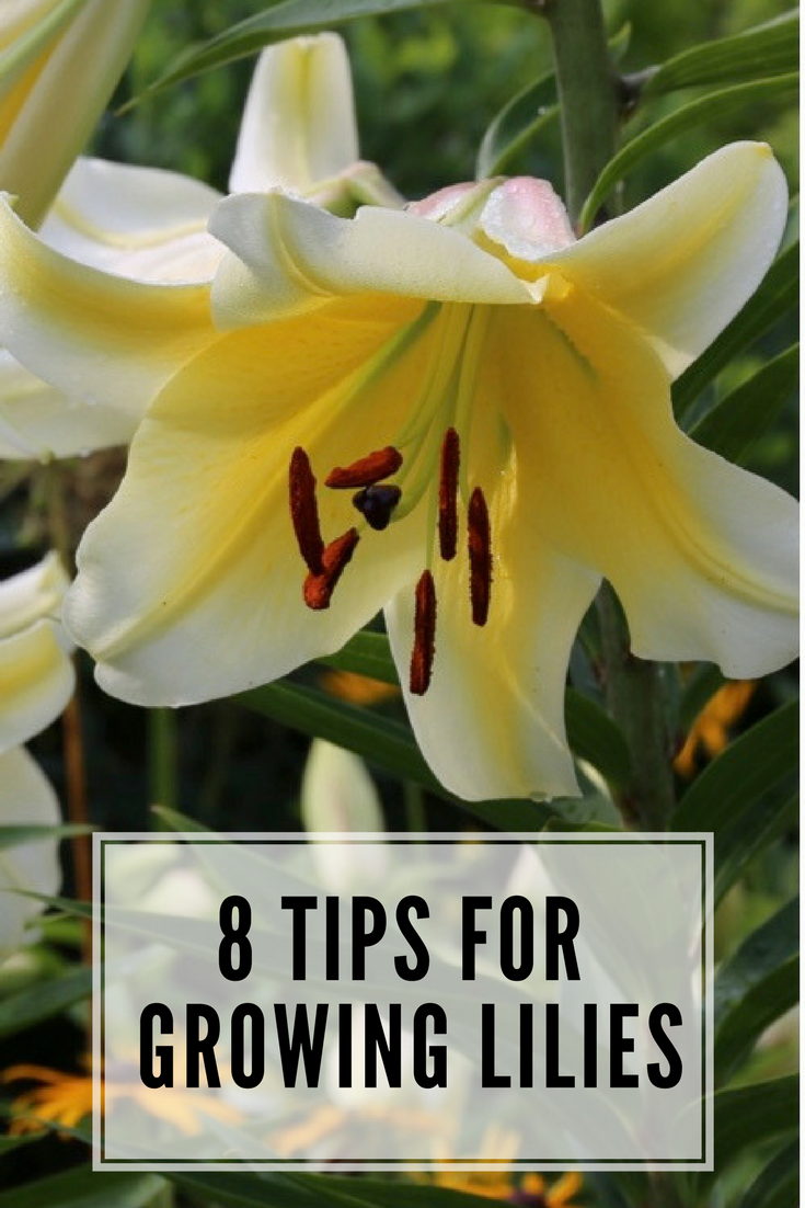 8 tips for growing better lilies blooming flowers bulbs and flower 8 tips for growing better lilies izmirmasajfo