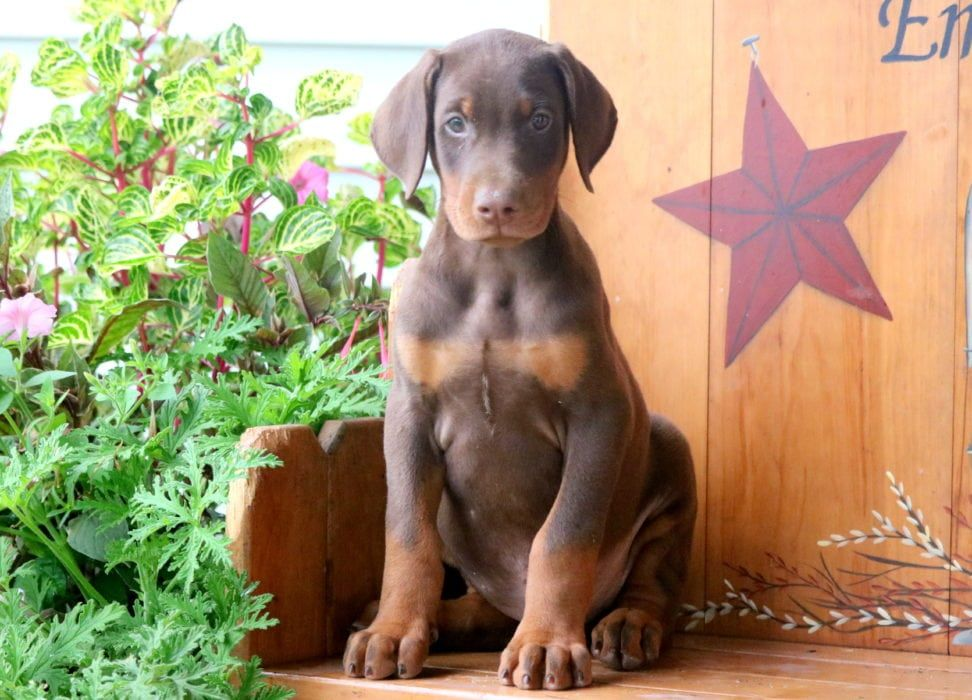 Dunkin Doberman Pinscher Puppy Doberman Pinscher Doberman