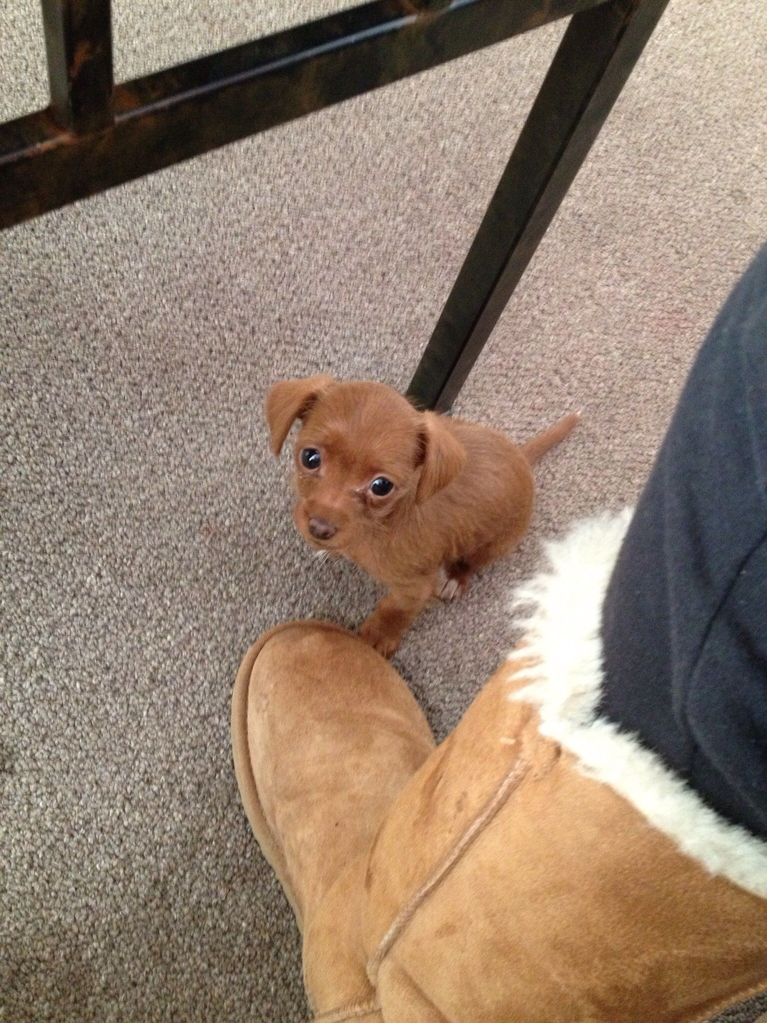 Chiweenie Puppy Chiweenie Puppies Cute Cats Dogs Baby Dogs