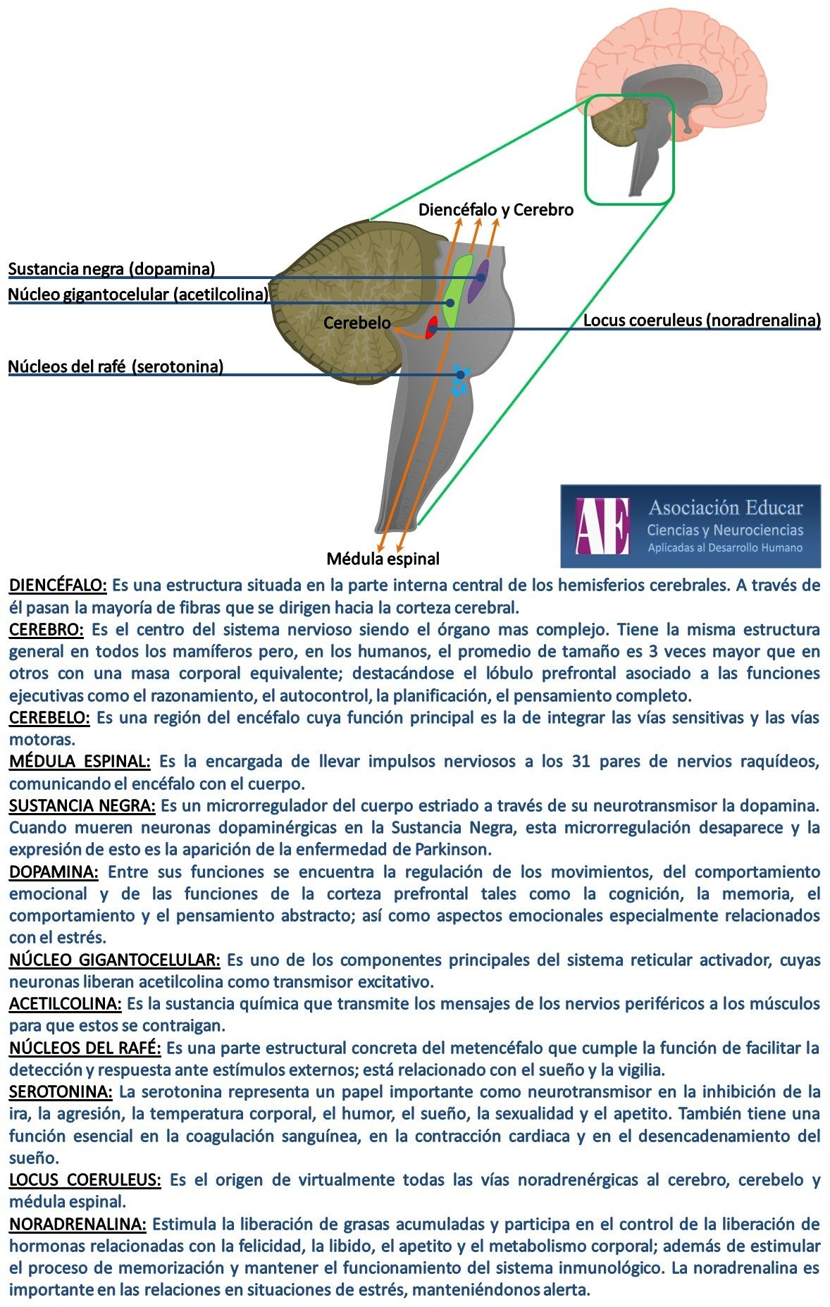 Sistema reticular - Asociación Educar - Ciencias y Neurociencias ...