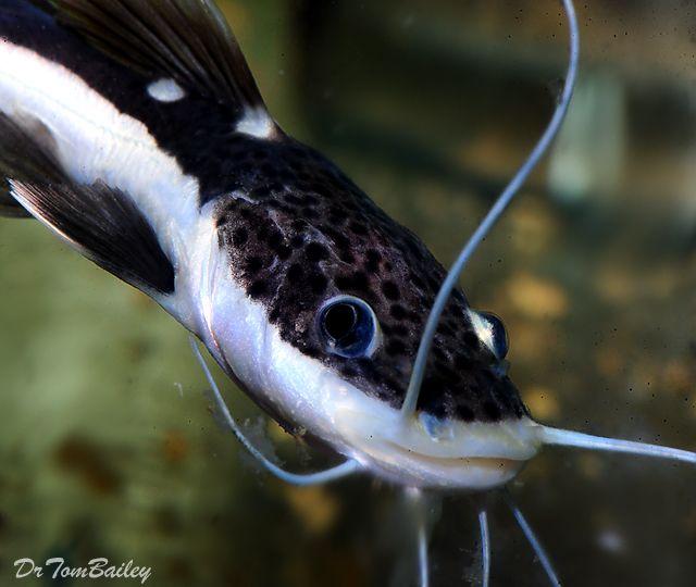 Buy Aquarium Catfish For Sale Online Aquarium Catfish Catfish For Sale Catfish
