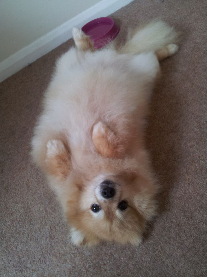 Teddy The Pomeranian Rolling Around On The Floor At Scruff Busters Dog Grooming Verwood Dog Friends Dog Grooming Tips Doggy