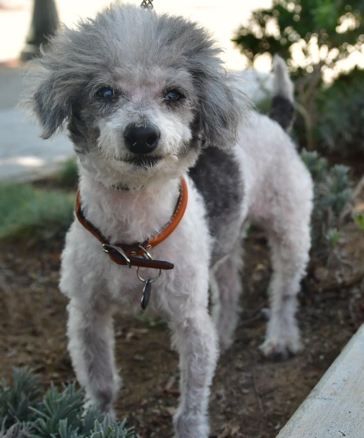 Gayweho Dogs 4 U On Dogs Poodle Animals