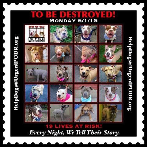 19 BEAUTIFUL LIVES TO BE DESTROYED 06/01/15 -- Please share their story and be their voice. This is a VERY HIGH KILL facility, so time is critical. YOU may be their ONY HOPE!- To rescue a Death Row Dog, Please read this:http://information.urgentpodr.org/adoption-info-and-list-o…/ To view the full album, please click here: http://nycdogs.urgentpodr.org/tbd-dogs-page/ http://nycdogs.urgentpodr.org/to-be-destroyed-4915/