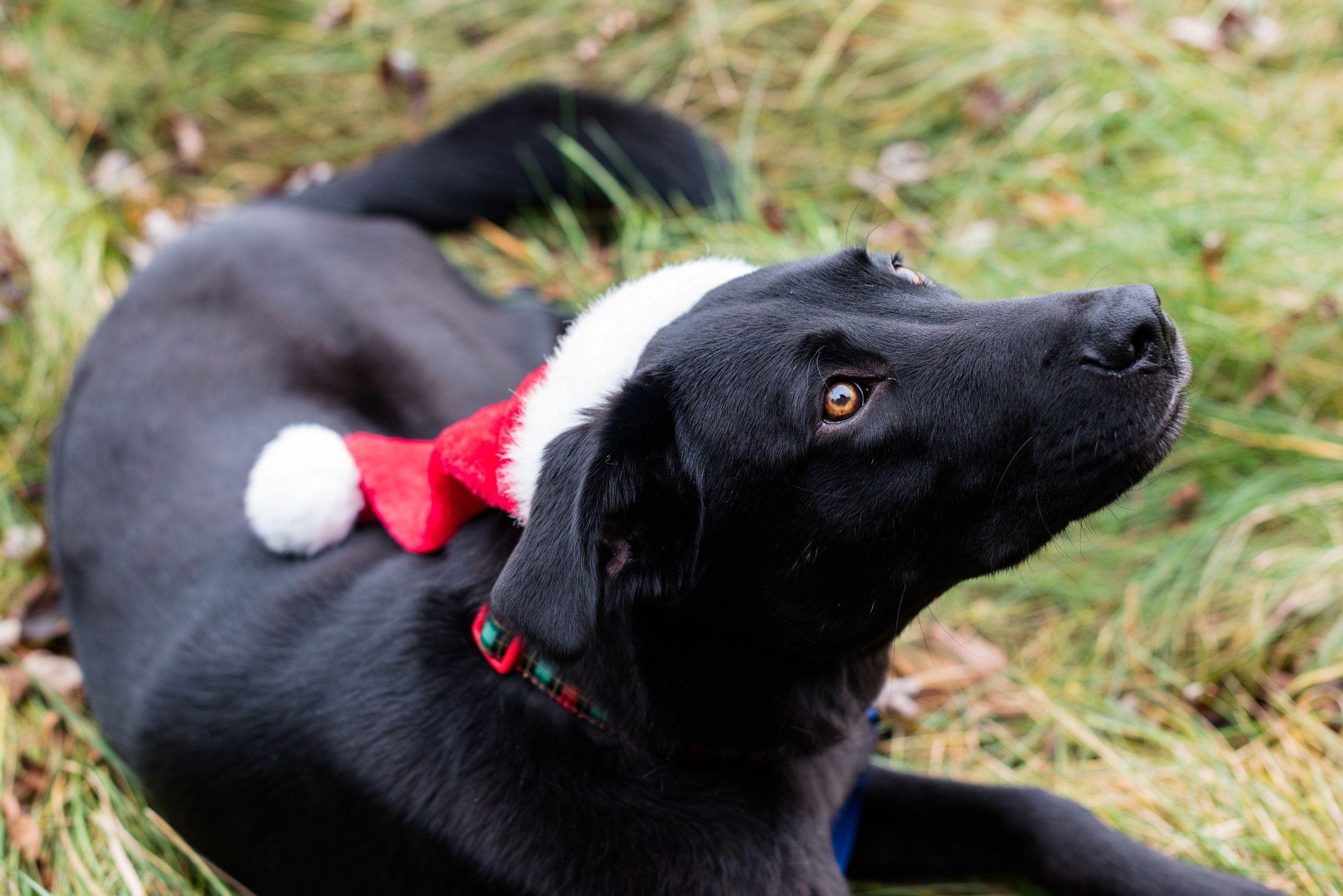 Santa Paws. Pet Photography. Toledo, Ohio. Animal