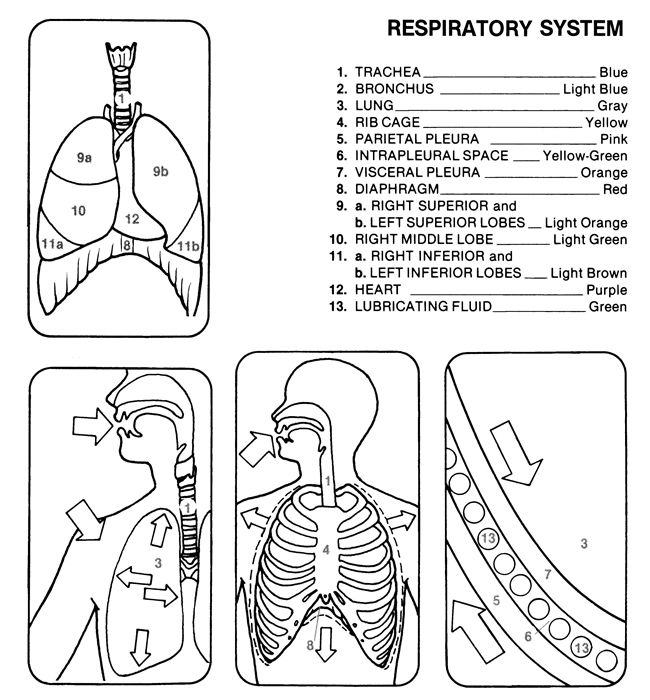 Dover Teacher\'s Sampler - Human Anatomy Coloring Book | What we are ...