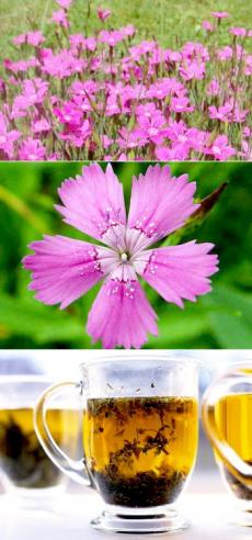 Гвоздика травянка в рецептах народной медицины