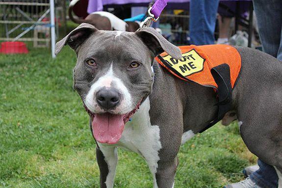 Matisse Pitbull Terrier Bull Terrier Dog Pitbulls