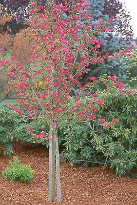Ribes Sanguineum Flowering Current Plant Habit Tree