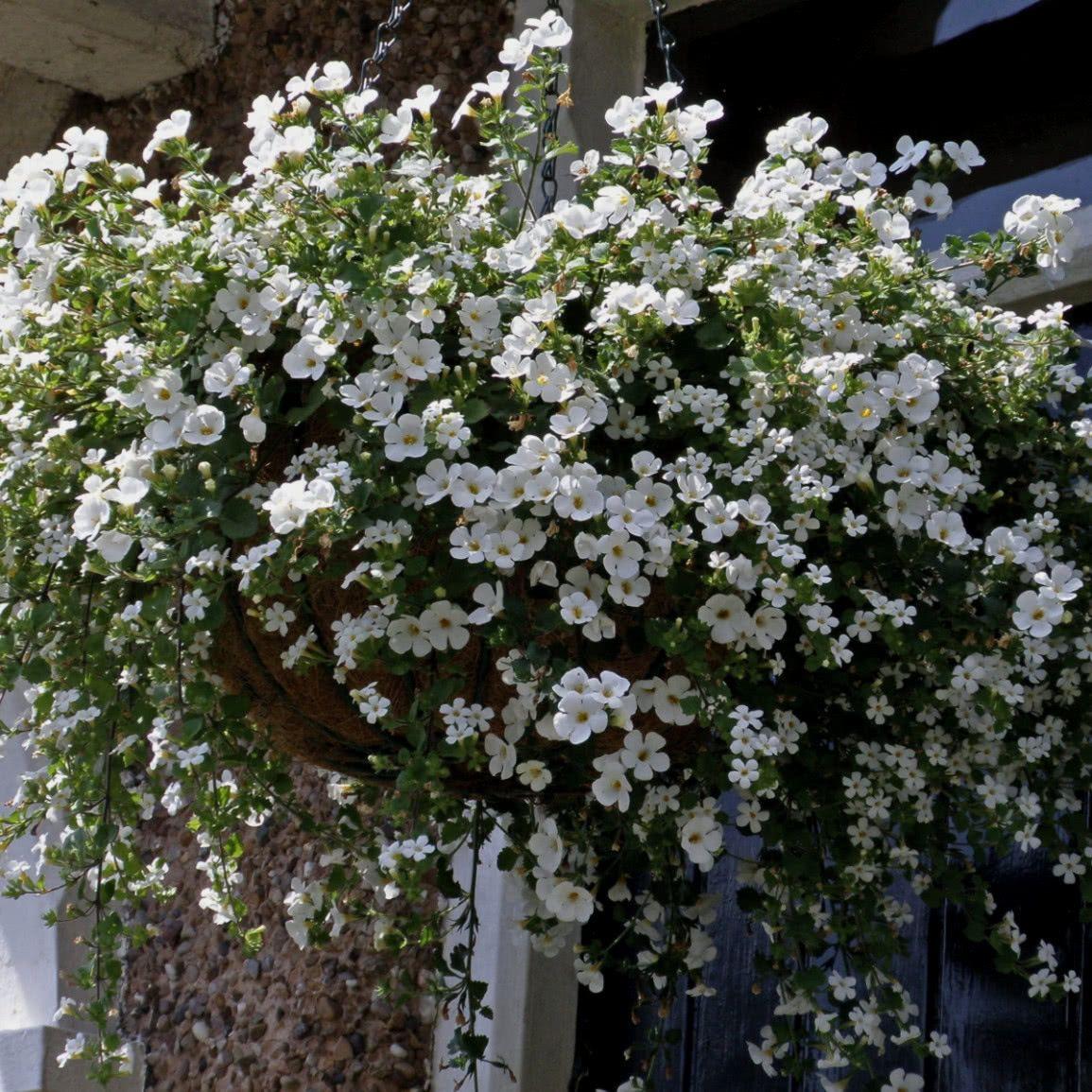 Bakopa Plants Flora Taras