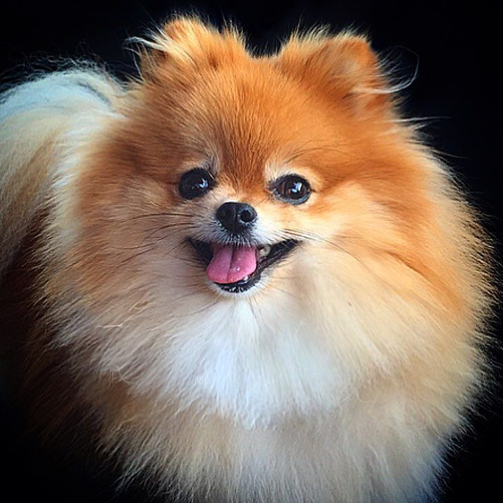 Pin By Kathy Carvalho On For The Love Of Poms Pomeranian