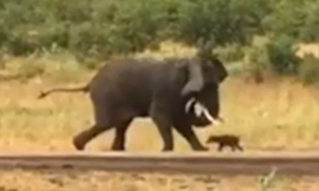 Brave baby buffalo takes on an enormous elephant and wins