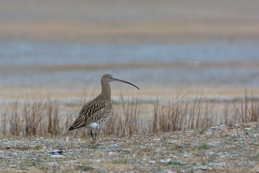 "https://flic.kr/p/v8mrjz | Zarapito real / Eurasian curlew / Numenius arquata | <a href=""http://jcfajardophotography.com/"" rel=""nofollow"">jcfajardophotography.com/</a>  Zarapito real / Eurasian curlew / Numenius arquata  Fotos hechas desde hide fijo  Photos taken from a fixed hide"