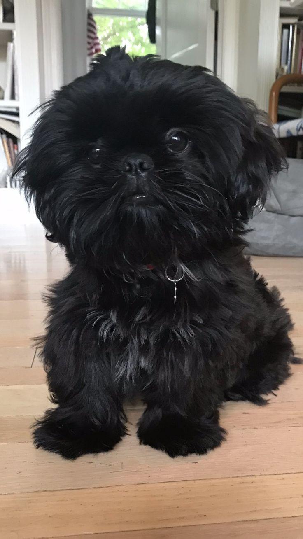 That Lil Face Affenpinscher Dog Shih Tzu Puppy Shih Tzu Dog