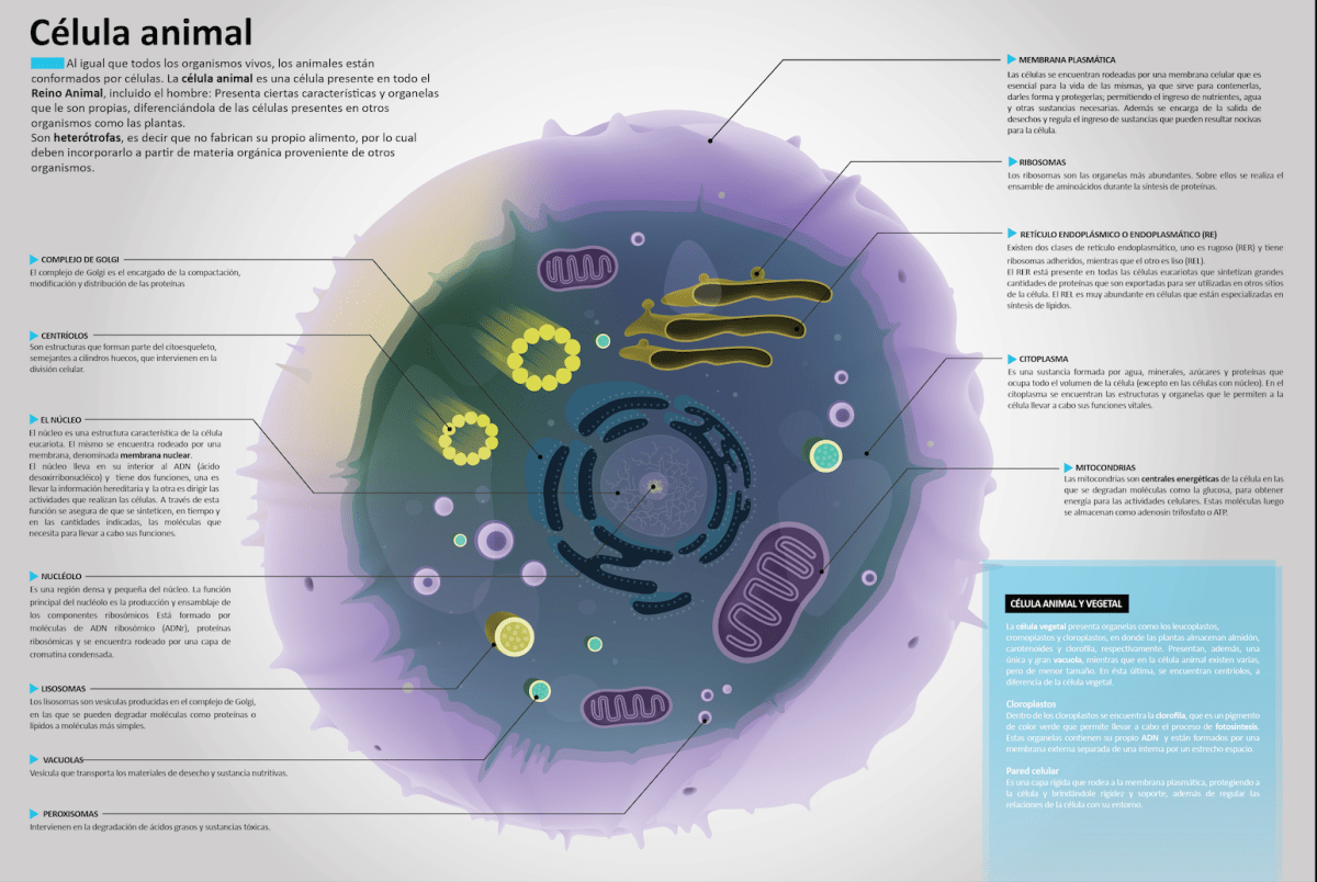 Super Infografía De La Célula Célula Animal Celulas Y