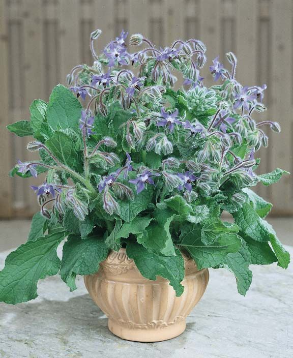 Small Herb Pots Part - 47: Borage With Blue Flowers Blooming In A Small, Ceramic Pot