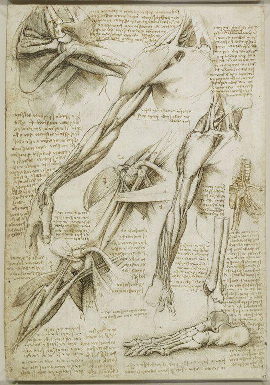 Estudio de los músculos del brazo y del hombro de la colección de ...