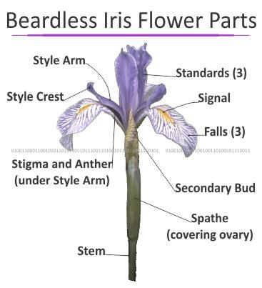 iris diagram beardless iris - diagram. includes the japanese and ...