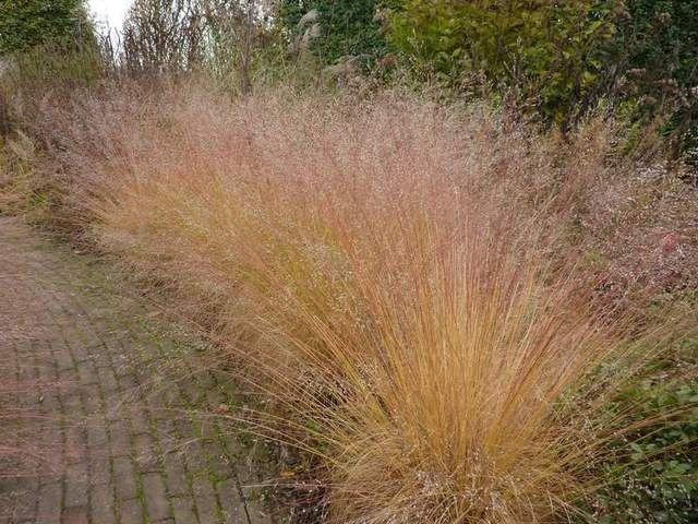 prairie dropseed grass in fall sporobolus heterolepis