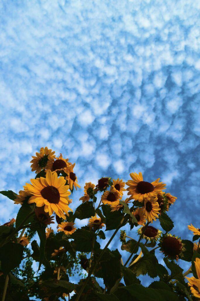 Yellow Aesthetic Wallpaper Download Beautiful Aesthetic Sunflower Wallpaper Iphone Hd Sunflower Wallpaper Sunflower Photography Sunflower Pictures