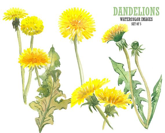 Watercolor Dandelion Clipart Flower Clip Art Watercolor Clipart Flower Painting Flower Clipart Dandelion Flower