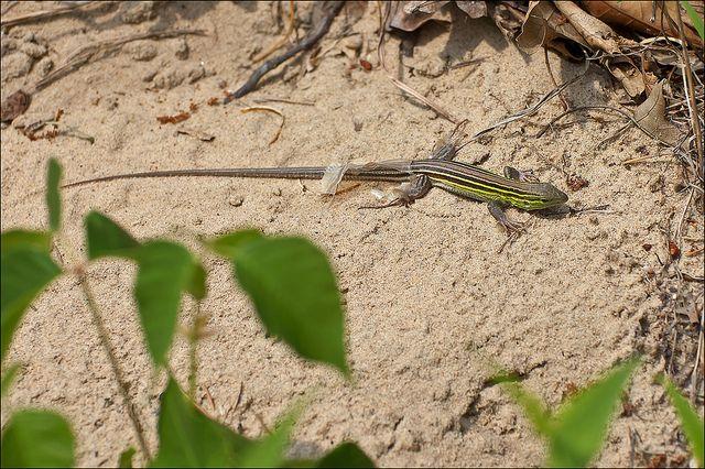 lizard in indiana