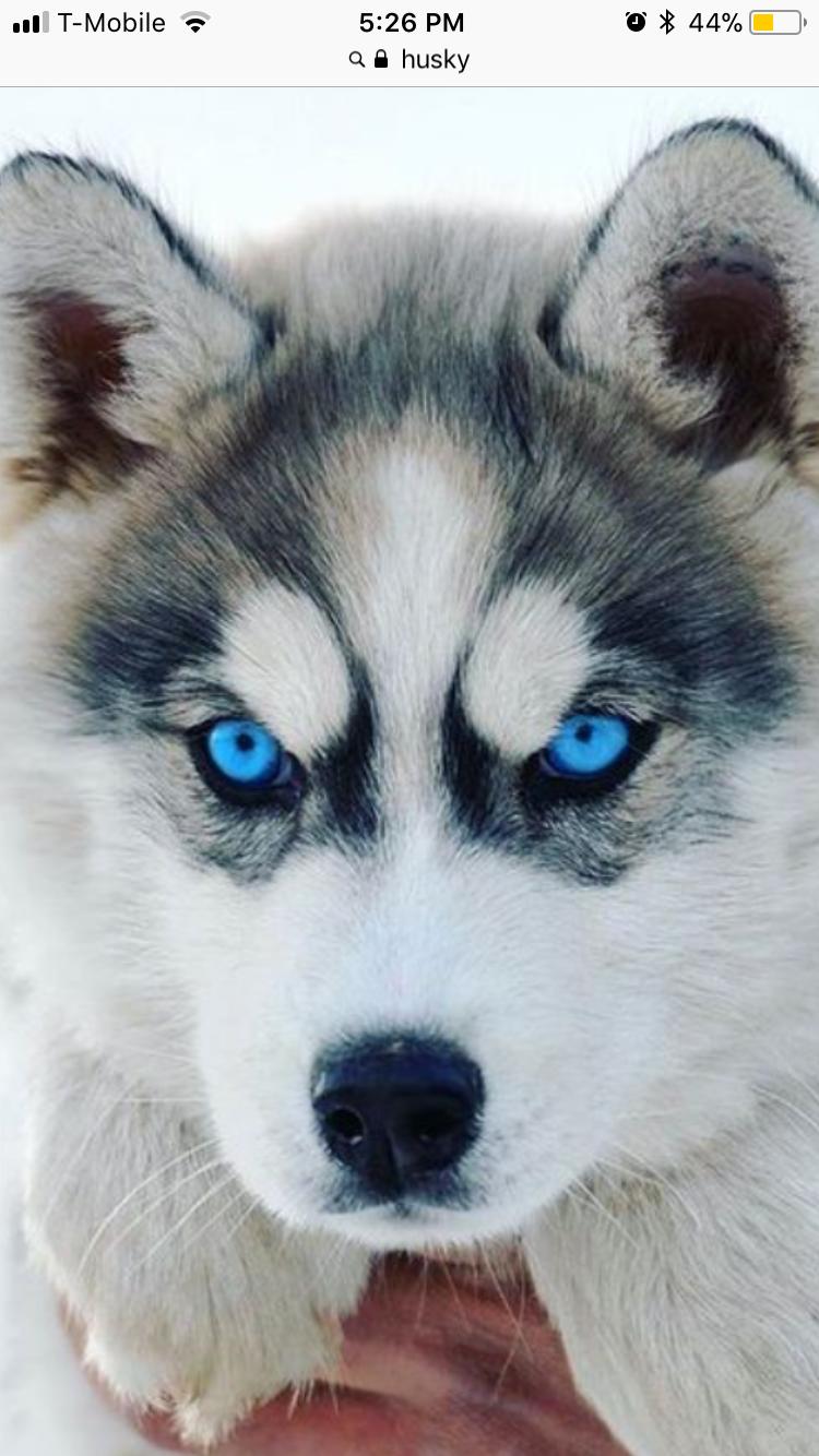 Siberian Husky Siberianhusky Perro Husky Huskies Siberianos Perros Bonitos