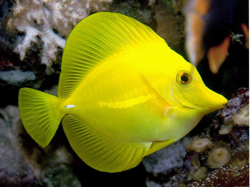 Yellow tang under the sea pinterest marine life for Yellow tang fish