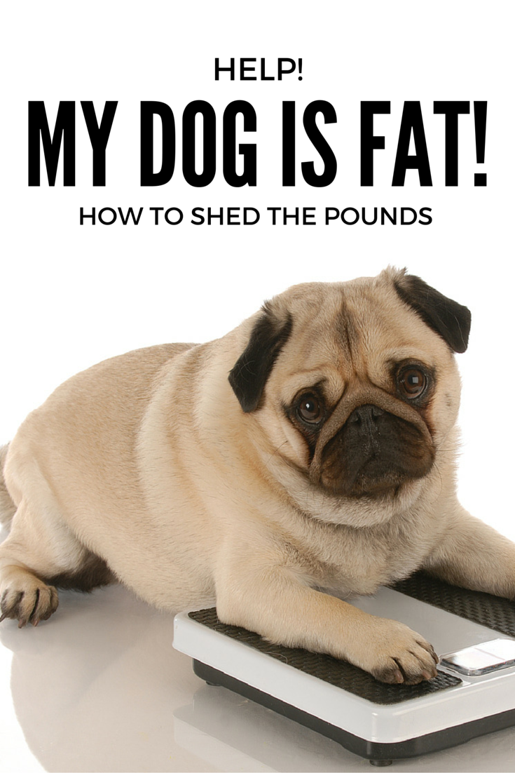 is your dog fat? how do you help him lose weight, and get back to