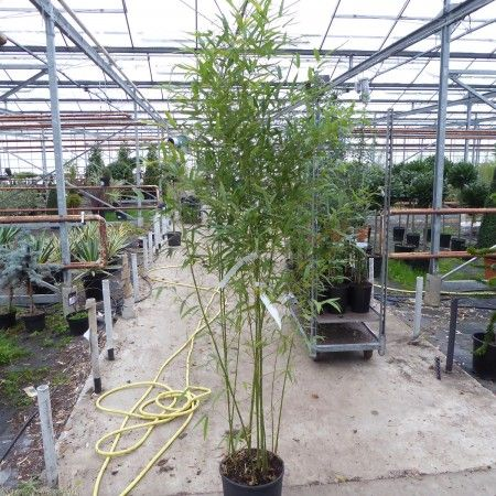 Bamboo Aurea Plants Fishpole Delivery By Charellagardens