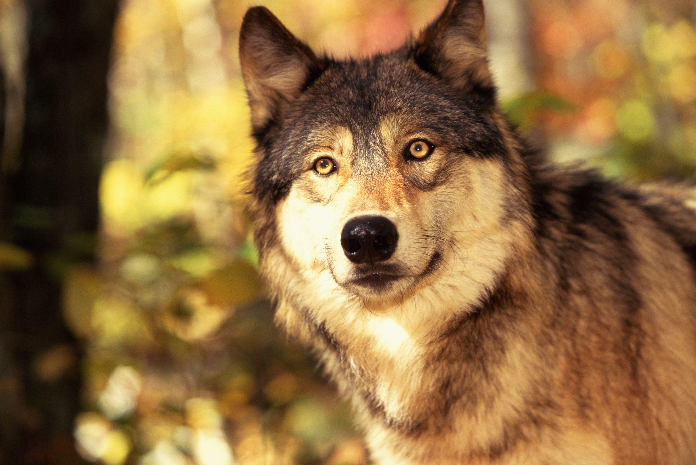 En Que Tipo De Habitat Vive El Lobo Gris