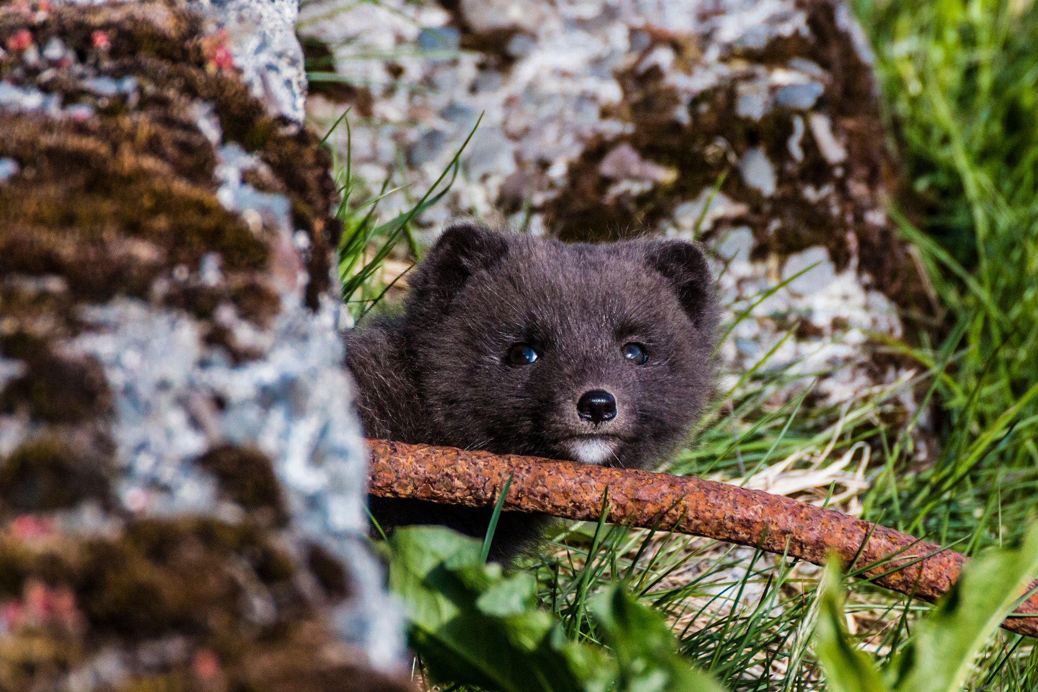 Iceland-Westfjords-Hesteyri-Arctic Fox pups - Iceland-Westfjords-Hesteyri-Arctic Fox pups