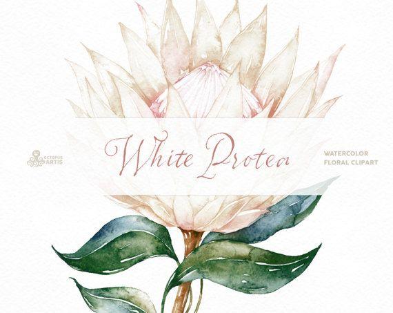 White Protea Watercolor Flowers And Frame Botanical Art Etsy Floral Watercolor Botanical Art Watercolor Flowers