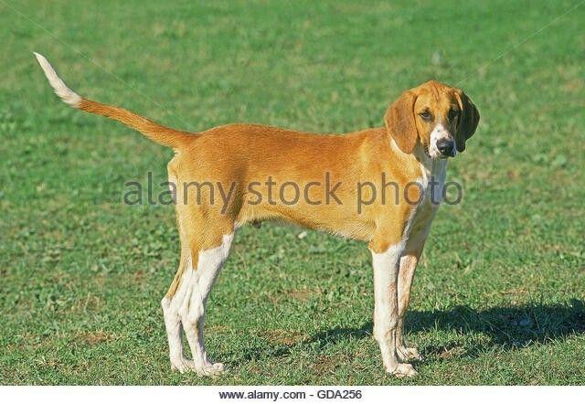 Poitevin Dog Dogs Animals Stock Photos