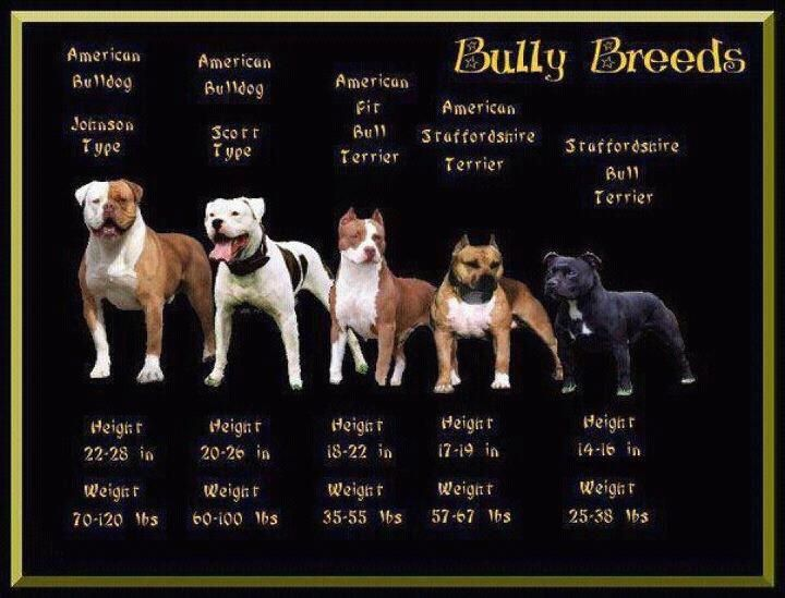 Bully Breed Comparison Bully Breeds