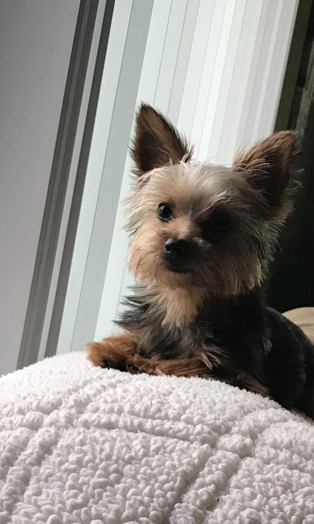 Receive Wonderful Recommendations On Yorkshire Terriers They Are