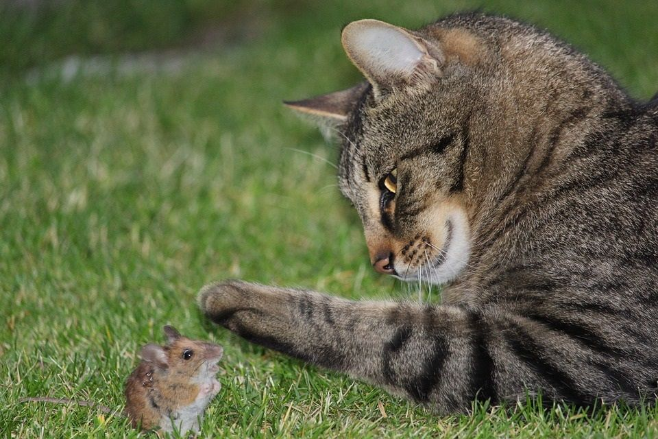 The Cat And Mouse Game Of Predatory Pricing Cats Indoor Cat Animals
