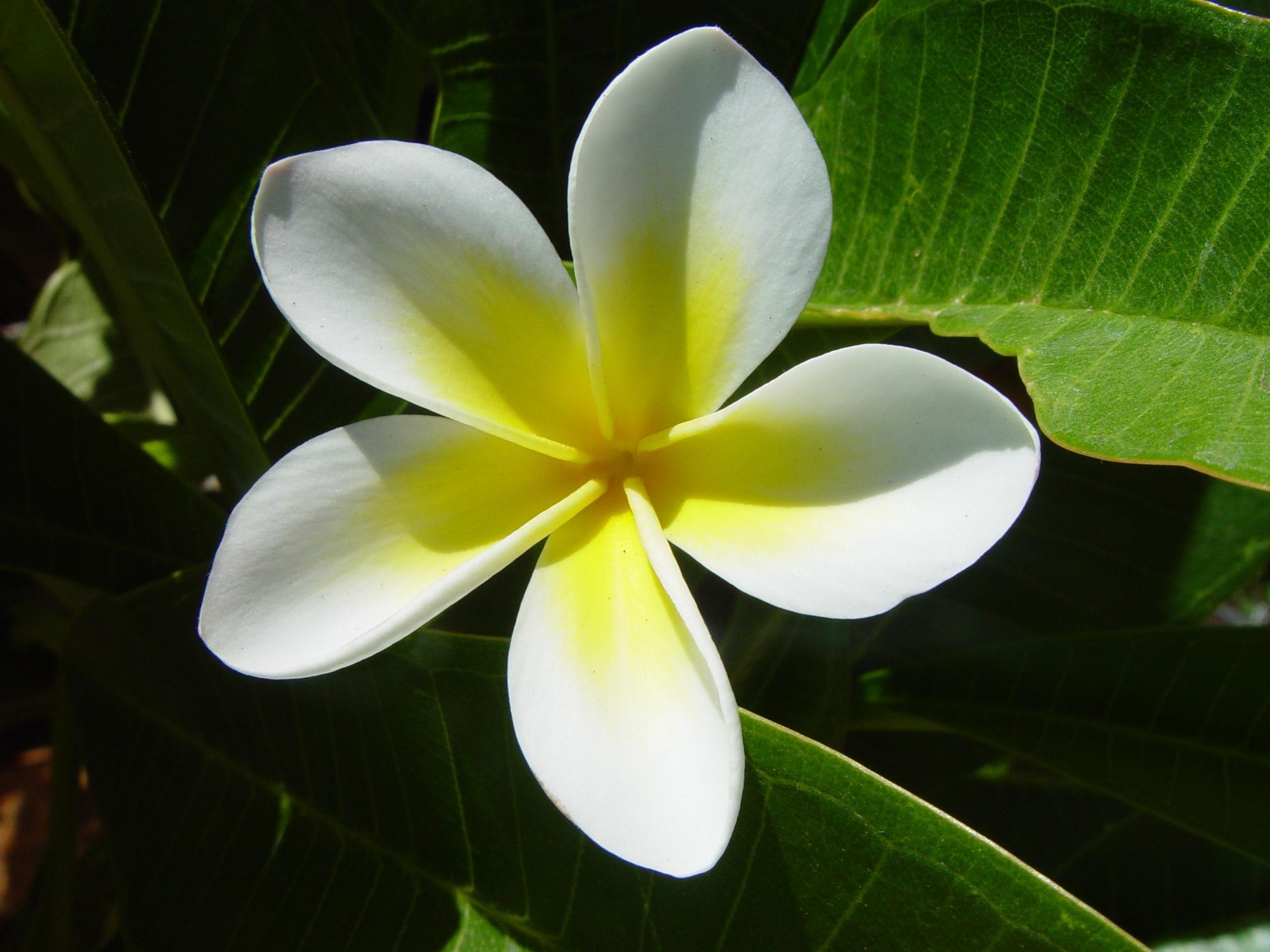 White and yellow plumeria flower (common name ''Frangipani'') #Flowers #FloweringsPlants
