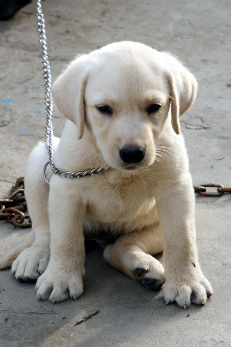 White Labrador Retrievers Bag Labrador Retriever Price In India
