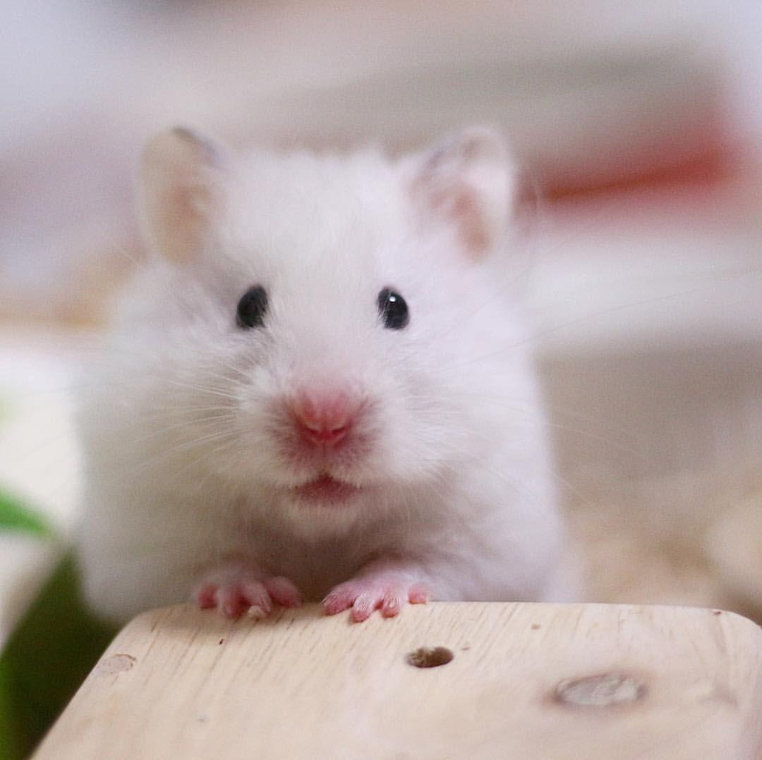 I M Ready For A Snack おねだり顔でウマウマ待ちのぷあなちゃん おてて揃えて ごはんまだでちか って言ってるのかな ハム Animals Instagram Profile Instagram