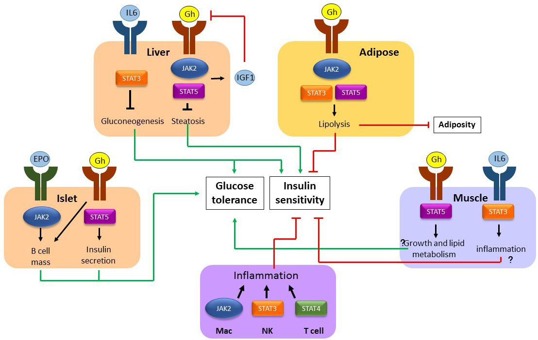 The janus kinase/signal transducers and activators of transcription