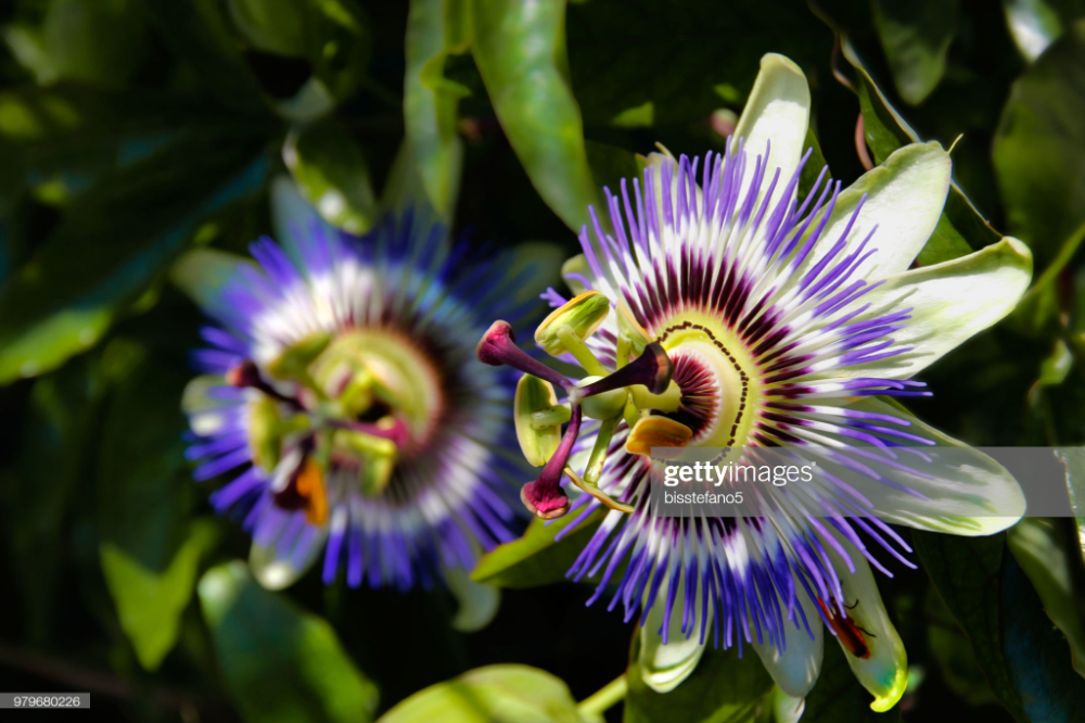Close Up Of Passion Flowers In 2020 Biodiversity Biology Labs Nature Inspiration