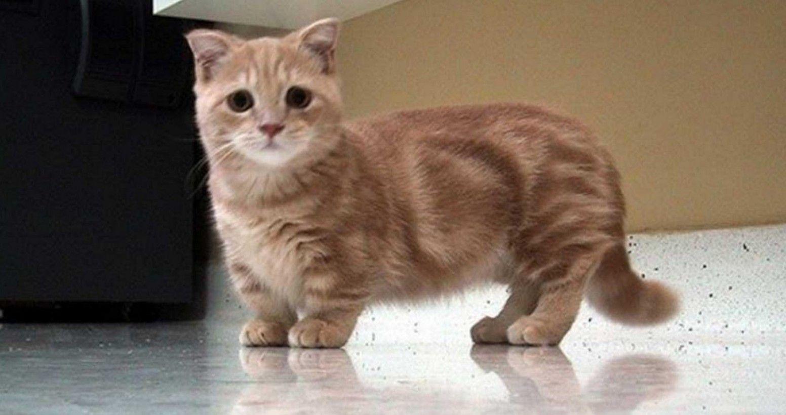 9 Short Legged Munchkin Cat Image in 2020 Munchkin cat