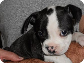 Sanford Fl Boston Terrier American Bulldog Mix Meet English The Boston Tea Party Pup A Puppy For Adoption Facts About English The Boston Tea Party Pup