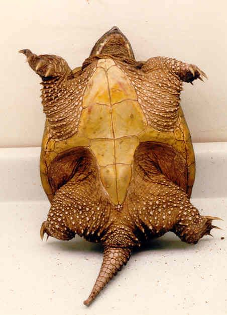 Alligator snapping turtle underside - Although it was once believed