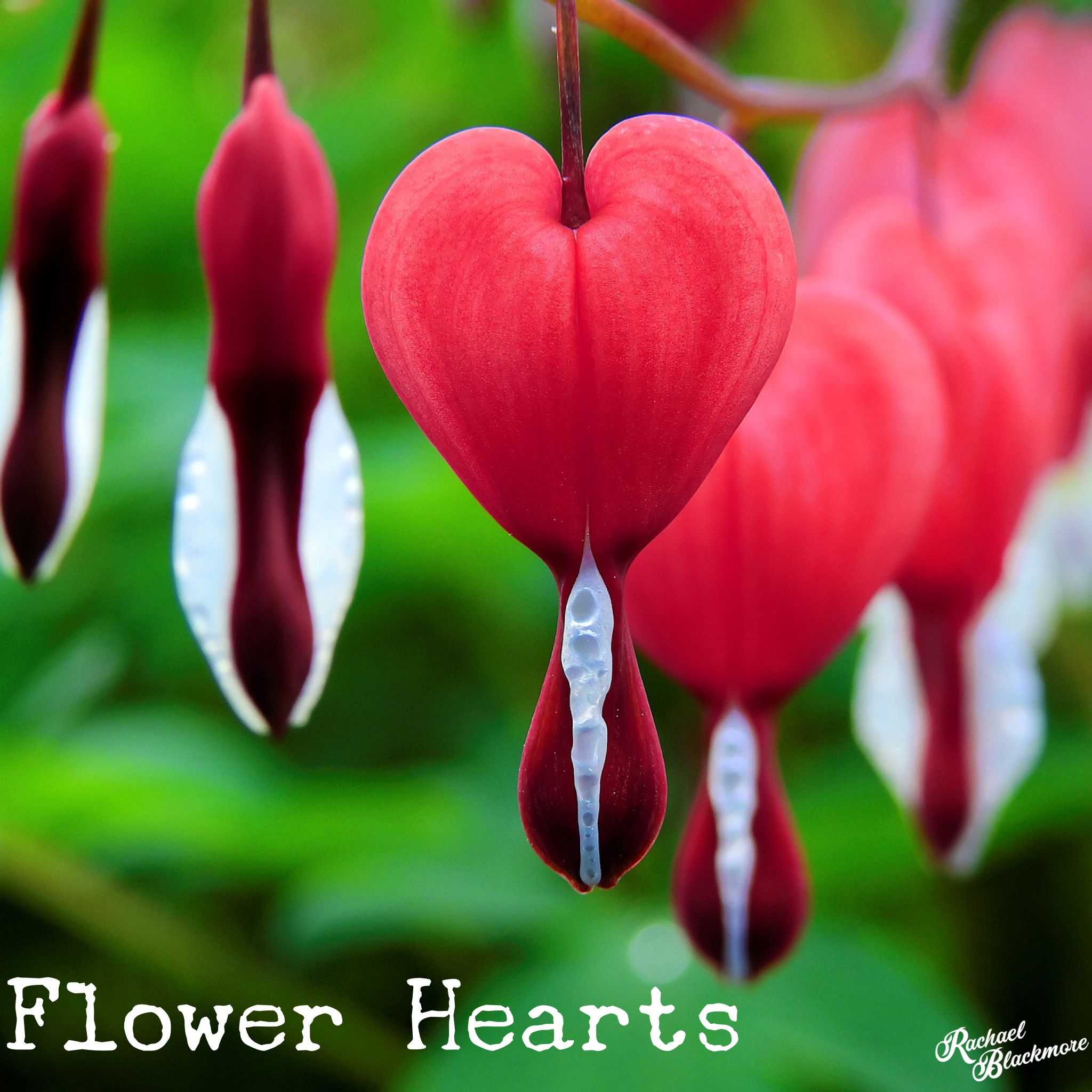 What Flowers Would You Give To The One You Loved With Images Bleeding Heart Flower Bleeding Heart Plant