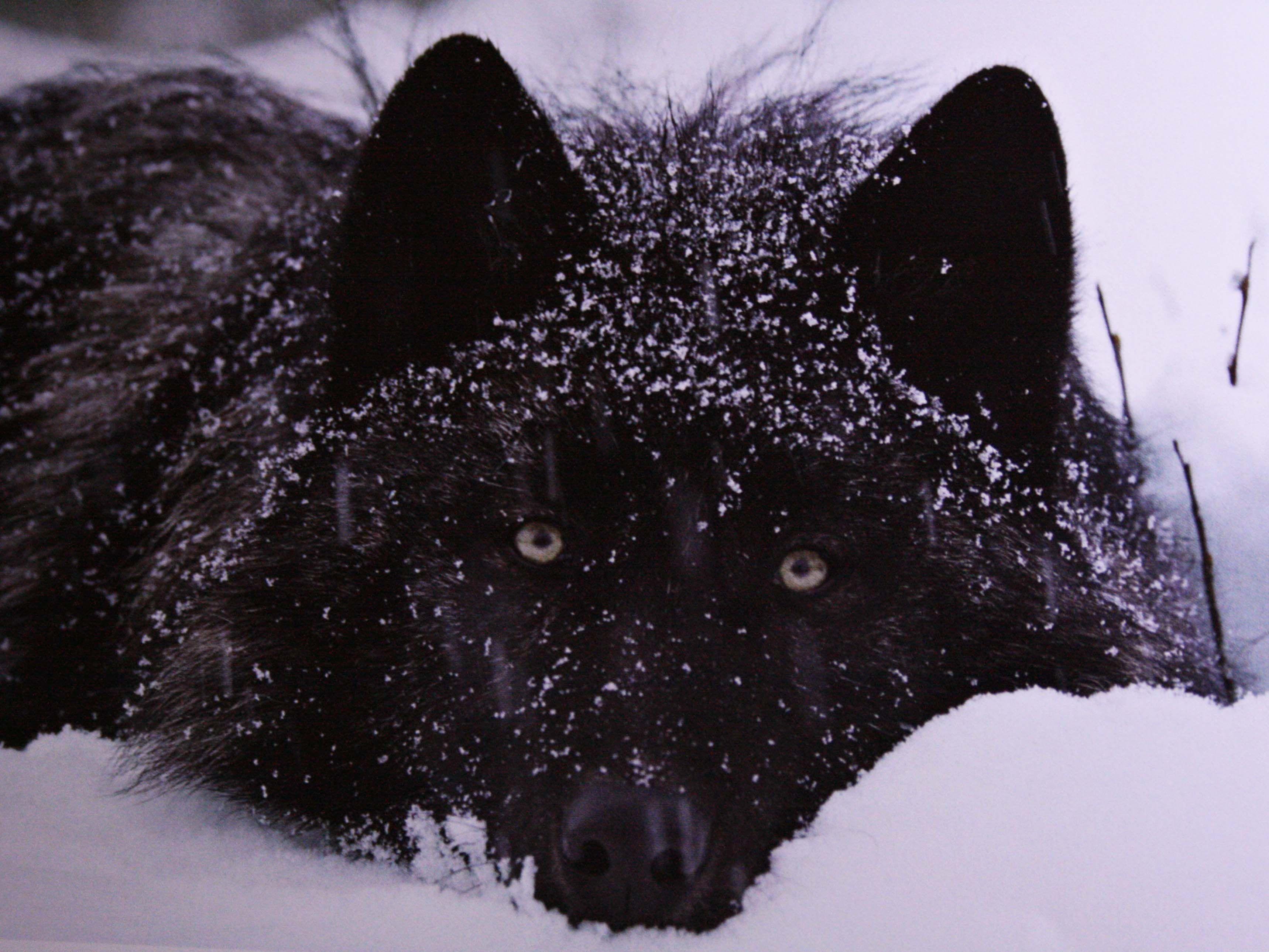 Großartig Wolfy Nagel Ideen - Nagellack-Ideen - endustrimuhendisligi ...